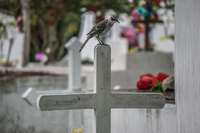 Mocking Bird of Puerto Ayora Cemetry Puerto Ayora, Galapagos, Ecuador, South America
