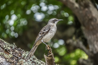 Chatham Mocking bird in San Cristobal Bredding center Baquerizo Moreno, El Progreso, El Junco, Puerto China, Galapagos, Ecuador, South America