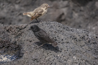 Darwin finch on Puerto Chino of San Cristobal Baquerizo Moreno, El Progreso, El Junco, Puerto China, Galapagos, Ecuador, South America