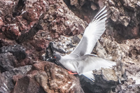 Swallow Tailed Gull Baquerizo Moreno, Galapagos, Ecuador, South America