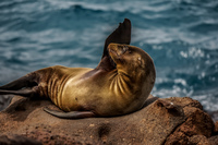 Sea Lion of North Seymour Puerto Ayora, Galapagos, Ecuador, South America