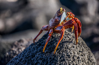Sally Lightfoot Crab Sombrero Chino, Rabida, Galapagos, Ecuador, South America