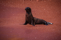 Young sea lion at Isla Rabida Sombrero Chino, Rabida, Galapagos, Ecuador, South America
