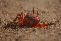Ghost Crabs Sombrero Chino, Rabida, Galapagos, Ecuador, South America