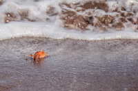 20140514091106-Ghost_crab_Ocypodinae