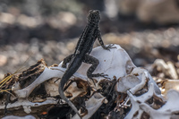 20140517083341-Lava_Lizard_on_skulls_near_Islote_Tintoreras