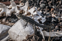 20140517083546-Lava_Lizard_on_skulls_near_Islote_Tintoreras