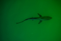 20140510192854-Baby_Shark__near_Puerto_Ayora_Harbour