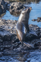 Fur Seal of James Bay Isla Santiago, Galapagos, Ecuador, South America