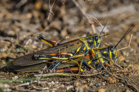 Grasshopper mating on James Bay Isla Santiago, Galapagos, Ecuador, South America