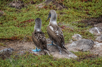Blue footed booby of North Seymour Puerto Ayora, Galapagos, Ecuador, South America
