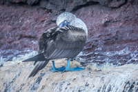 Blue footed Booby near Elizabeth Bay Isabella, Galapagos, Ecuador, South America