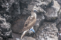 20140521141344-Bluefooted_Booby_in_La_Loberia