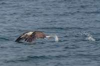 20140514090227-Blue_Footed_Boobie_diving_for_fish-2