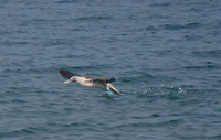 20140514090227-Blue_Footed_Boobie_diving_for_fish