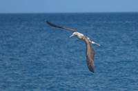 20140514090353-Blue_Footed_Boobie_diving_for_fish