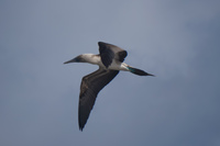 20140514090356-Blue_Footed_Boobie_diving_for_fish