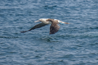 20140514090403-Blue_Footed_Boobie_diving_for_fish