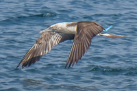 20140514090404-Blue_Footed_Boobie_diving_for_fish