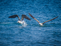 20140514090441-Blue_Footed_Boobie_diving_for_fish