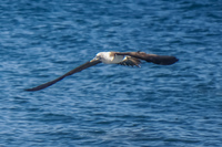 20140514090442-Blue_Footed_Boobie_diving_for_fish-2