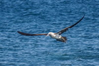20140514090442-Blue_Footed_Boobie_diving_for_fish