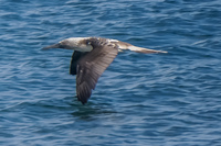 20140514090445-Blue_Footed_Boobie_diving_for_fish