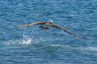 20140514090528-Blue_Footed_Boobie_diving_for_fish-2