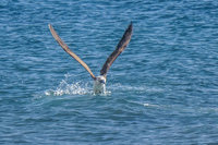 20140514090528-Blue_Footed_Boobie_diving_for_fish