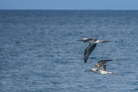 20140514090536-Blue_Footed_Boobie_diving_for_fish