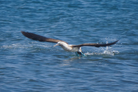 20140514090635-Blue_Footed_Boobie_diving_for_fish