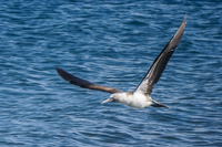 20140514090636-Blue_Footed_Boobie_diving_for_fish-3