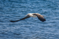 20140514090636-Blue_Footed_Boobie_diving_for_fish-4