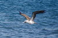 20140514090636-Blue_Footed_Boobie_diving_for_fish
