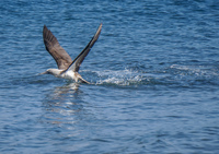 20140514091202-Blue_footed_booby_hunting_for_fish