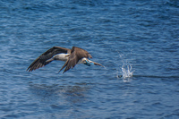 20140514091203-Blue_footed_booby_hunting_for_fish-3