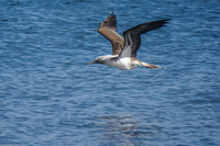 20140514091203-Blue_footed_booby_hunting_for_fish-4