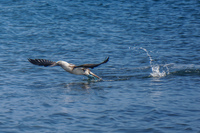 20140514091203-Blue_footed_booby_hunting_for_fish