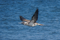 20140514091204-Blue_footed_booby_hunting_for_fish-3