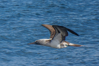20140514091204-Blue_footed_booby_hunting_for_fish-4