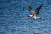 20140514091204-Blue_footed_booby_hunting_for_fish