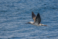 20140514091205-Blue_footed_booby_hunting_for_fish-3