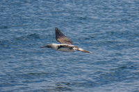 20140514091205-Blue_footed_booby_hunting_for_fish-4