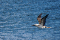 20140514091205-Blue_footed_booby_hunting_for_fish