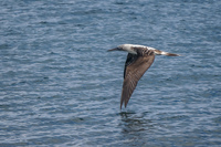 20140514091206-Blue_footed_booby_hunting_for_fish-2