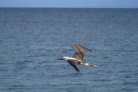 20140514091207-Blue_footed_booby_hunting_for_fish-3