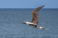 20140514091207-Blue_footed_booby_hunting_for_fish-4