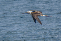 20140514091207-Blue_footed_booby_hunting_for_fish