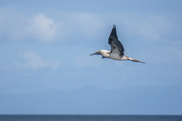 20140514091208-Blue_footed_booby_hunting_for_fish-3