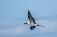 20140514091208-Blue_footed_booby_hunting_for_fish-4